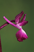 Loose-flowered Orchid, Orchis laxiflora laxiflora,, blossom, Samos, Greek Island, Greece, Europe