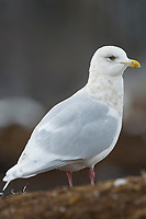 "Adult ""Kumlien's"" Iceland Gull (Larus glaucoides kumlieni) in basic (winter) plumage. Tompkins County, New York. December."