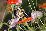 A Monarch Butterfly In A Garden Setting Amid Colorful Flowers, Danaus plexippus