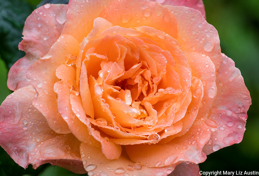 Hybird Tea Rose 'Lawerence of Arabia'