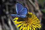 Blue & Azure Butterflies