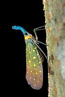 Lanternbug, Pyrops whiteheadi, on side of tree, Rainforest Discovery Centre, Sepilok National Park, Sandakan, Sabah, Northeastern Borneo, Malaysia