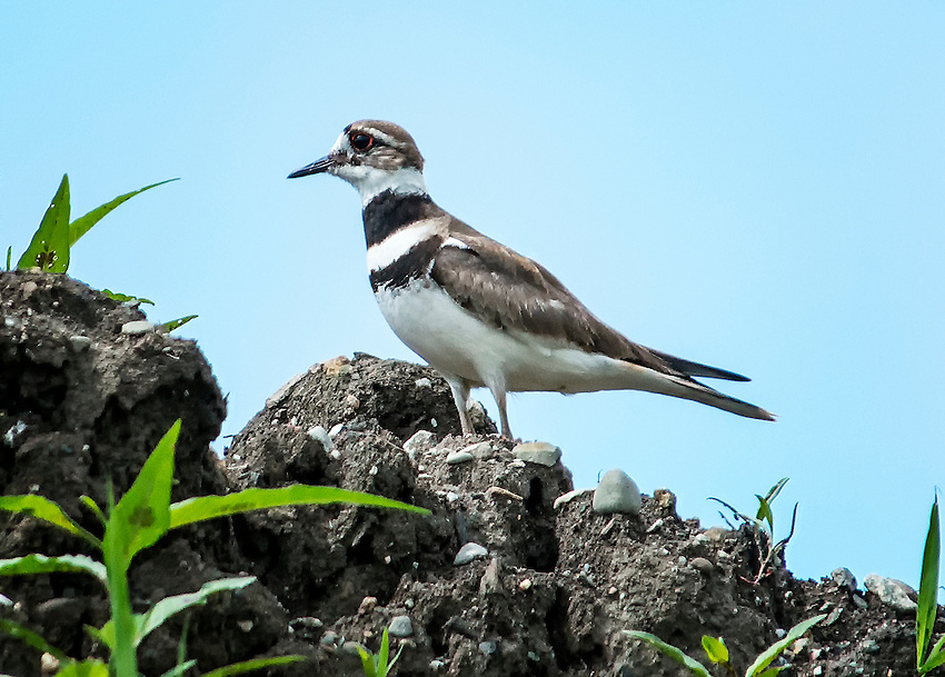 The killdeer (Charadrius vociferus) is a type of plover that spends much of its life running along the ground. For this shot, I had to be patient and wait until the bird reached an open spot.