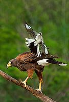 541950092v a wild harris hawk parabuteo unicinctus perches on a dead snag while being harrassed by a northern mockingbird  mimus polyglottos on santa clara ranch starr county texas