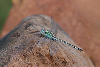 385360014 a wild male serpent ringtail erpetogomphus lampropeltis natrix perches on a rock along bear creek in cochise county arizona