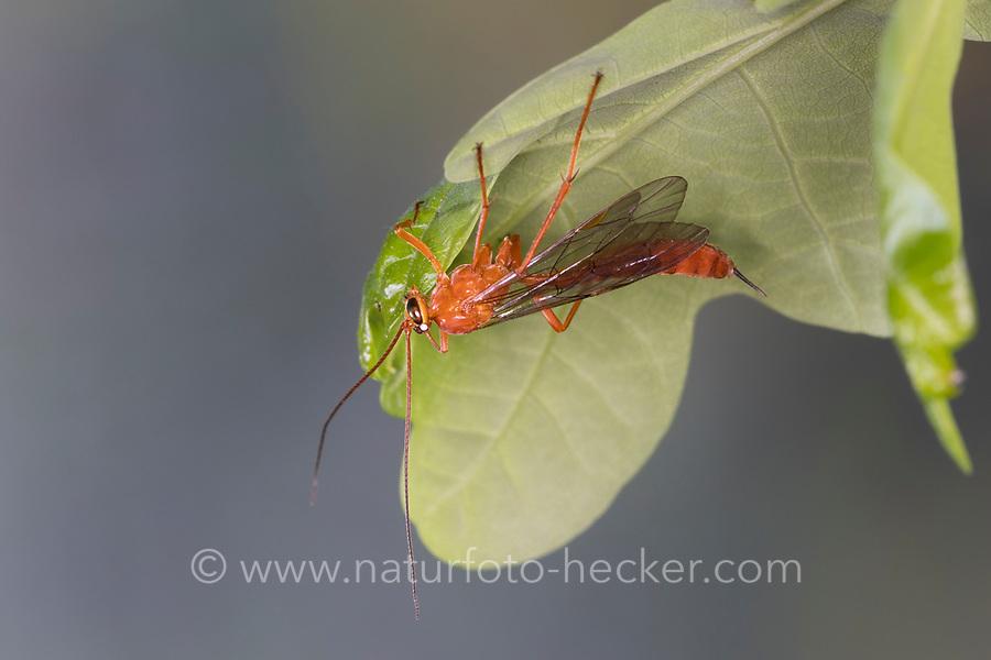 Schlupfwespe, Weibchen, Netelia spec., Ichneumon wasp, female
