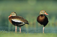 Black-bellied Whistling-Duck, Dendrocygna autumnalis, pair, Welder Wildlife Refuge, Sinton, Texas, USA, June 2005