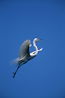 A Great egret (Casmerodius albus) in flight, mouth open to communicate with other egrets.