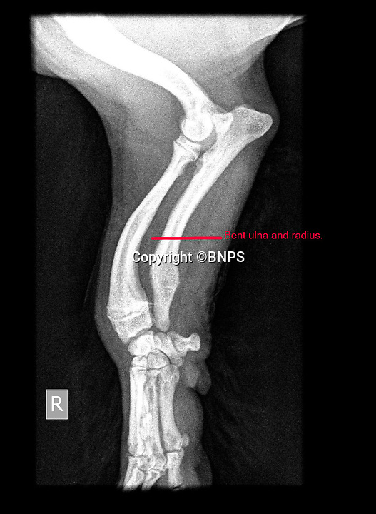 BNPS.co.uk (01202 558833)<br /> Pic: PhilYeomans/BNPS<br /> <br /> Right leg - Berties x-rays show the chronically curved Ulna and Radius bones.<br /> <br /> Meet Bertie the bow-legged Shih-Tzu puppy...<br /> <br /> A rescue centre has launched a crowd funding page to raise the £4,000 needed to help him run around again.<br /> <br /> One year old Bertie has been abandoned by his owners who couldn't afford the cost of his life changing operations, but Ardley rescue centre boss Annabelle Weir from Bicester in Oxfordshire is determined to give bow-legged Bertie a second chance.