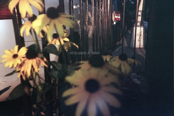 Black-Eyed Susans outside a brownstone on Park Place during sunset.
