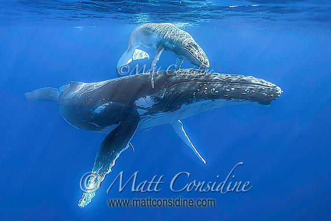The calf is almost riding on the back mother's back. (Photo by Underwater Photographer Matt Considine)