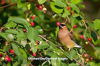 01415-03017 Cedar Waxwing (Bombycilla cedrorum) eating berry in Serviceberry Bush (Amelanchier canadensis), Marion Co., IL