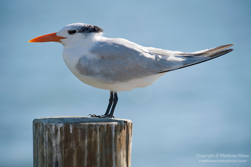 Captiva Island, Florida; a Royal Tern (Thalasseus maximus) bird standing on top of a piling for a wooden pier with water in the background © Matthew Meier Photography, matthewmeierphoto.com All Rights Reserved