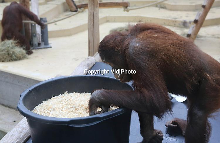 Foto: VidiPhoto..RHENEN - Omdat de orang oetans van Ouwehands Dierenpark in Rhenen met dit koude weer niet naar buiten kunnen, werden ze donderdag verrast met een heuse grabbelton en enkele lakens om mee te spelen. In de grabbelton bevonden zich diverse noten. Voor de dieren is het speelmateriaal en de zoektocht naar voedsel een vorm van verrijking. Nog niet eerder is het in deze periode van het jaar zo koud geweest..