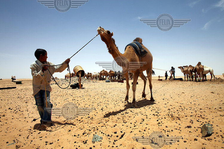 A Saharawi Bedouin boy encourages his camel to draw water from a desert well, near the town of Zuk in Polisario controlled Western Sahara.
