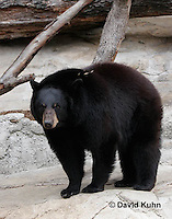 0906-0810  American black bear, Ursus americanus  © David Kuhn/Dwight Kuhn Photography.