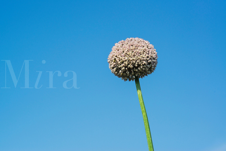 Onion flower, Allium