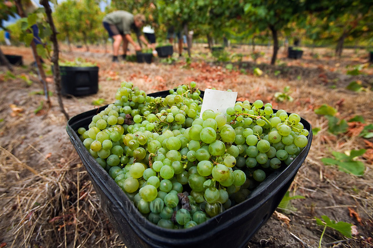 Grapes are hand picked and piled in containers for collection.   Margaret River, Western Australia, AUSTRALIA.