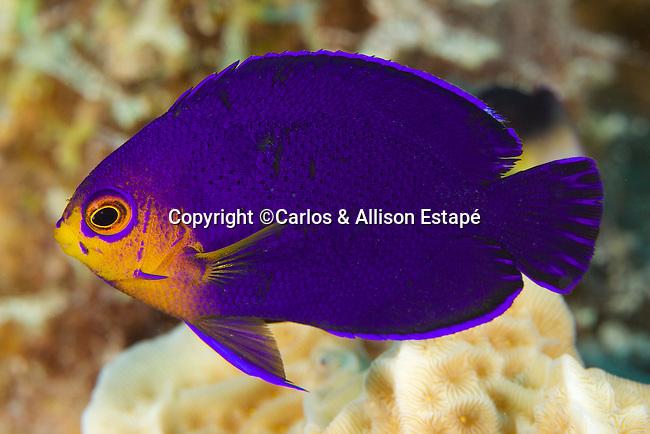 Centropyge argi, Cherubfish, Bonaire