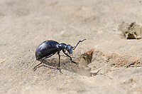 A Black Oil Beetle (Meloe proscarabaeus) Found in the Kinder Scout Area, Derbyshire