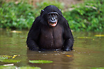 Bonobo adolescent male wading through water (Pan paniscus), Lola Ya Bonobo Sanctuary, Democratic Republic of Congo.