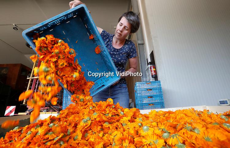 Foto: VidiPhoto<br /> <br /> HEMMEN – Op hun buik en in de schaduw van een dekzeil, 'zweven' enkele vakantiewerkers van ekoboerderij De Lingehof over een veld met goudsbloemen in het buurtschap Hemmen in de Betuwe. De bloemen (Calendula officinalis) worden liggend op een omgebouwd wiedbed geoogst, gedroogd op de boerderij en verkocht in onder andere natuurvoedingswinkels als thee. Initiatiefneemster Petra Derkzen (foto) is de enige in Nederland die goudsbloemen oogst voor consumptie. In Duitsland gebeurt dat op veel grotere schaal. Calendula is goed voor de spijsvertering en bovendien een plantaardig jodium. De stof wordt ook gebruikt in de cosmetica. Aan het eind van het oogstseizoen besluit Derkzen of het plukken van goudsbloemen economisch rendabel genoeg is om er mee door te gaan.