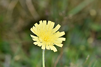 Mouse-ear Hawkweed - Pilosella officinarum