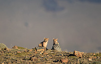 We were very fortunate to have multiple encounters with a female puma and her tiny cubs.