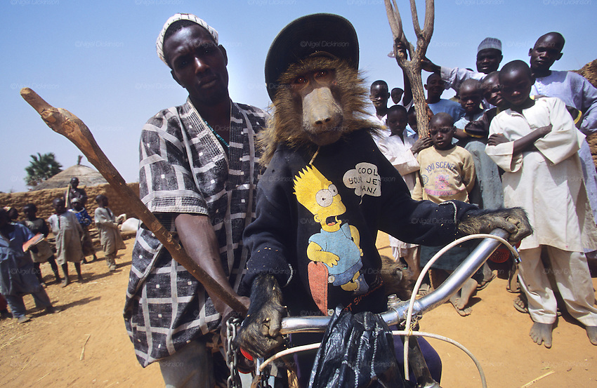 Baboons dressed in Simpson T-shirt sitting on a bicycle as part of a Husa traveling circus..Husa Animist Muslim traveling circus with monkeys. In the Animist religion power is associated with fierce beasts and those who have contact with them. These men and their troop are often called upon for religious ceremonies. Animals are often caught and traded for their spiritual associations. The use of animals and animist beliefs goes contrar to Sharia law..The implementation of Islamic Sharia Law across the twelve northern states of Nigeria, centres upon Kano, the largest Muslim Husa city, under the feudal, political and economic rule of the Emir of Kano.  But 70% of the population live below the poverty line and have to survive how they can. Kano, Kano State, Northern Nigeria, Africa