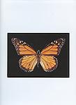 NCAS-8607  Monarch Butterfly  5x7 Notecard