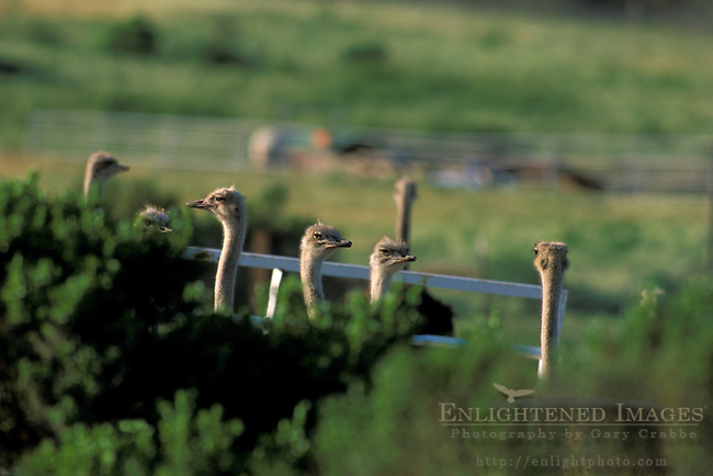 Ostrich Ranch, near Solvang, Santa Barbara County, California