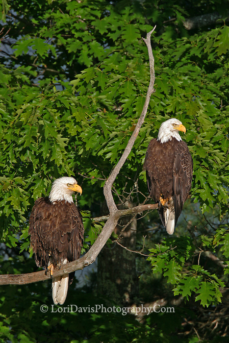 #BE3 Pair Of Bald Eagles Sharing Branch