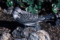 bird, Gray-backed Tern, Sterna lunata, immature bird (before fledging) in nesting colony on Eastern Island, Midway Atoll, Papahanaumokuakea Marine National Monumen, Northwestern Hawaiian Islands