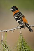 Black-headed Grosbeak - Pheucticus melanocephalus - Male