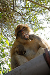 Wild Barbary Macaque sitting on roof of cafe eating ice cream on a stick stolen from cruise ship tourist on a day trip to Rock of Gibraltar