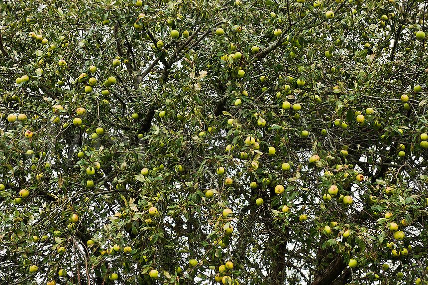 Green apple tree.