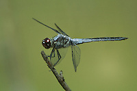 389100003 a wild male bar-winged skimmer libellula axilena an uncommon dragonfly perches on a dead twig in the angelina national forest jasper county texas