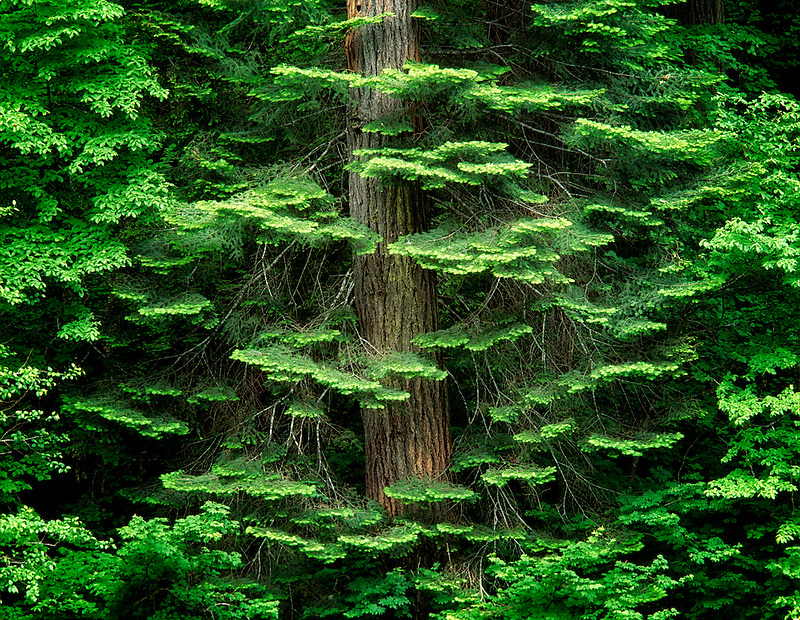 Hemlock tree branches around tree trunk with spring growth. Banks of Umpqua River, Oregon.