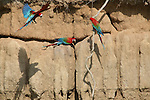Three Red and Green Macaws rest at a clay lick.