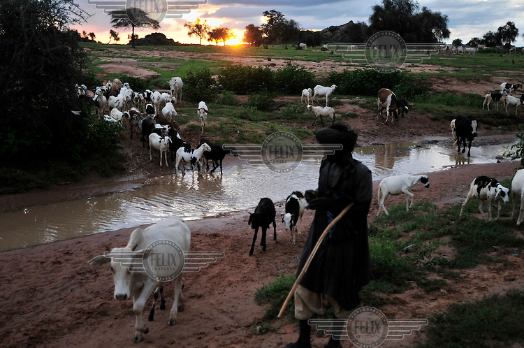 A Fulani shepherd brings in his animals at the end of the day as they cross a small river.