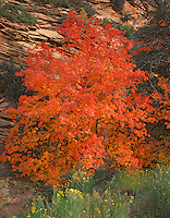 Zion National Park, UT<br /> Autumn leafed Bigtooth maple (Acer grandidentatum) against a striated Navajo sandstone wall