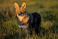 Coyote (Canis latrans) in late evening light.
