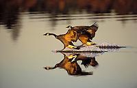 Canada Geese pair landing in late winter light.  Burnaby Lake, British Columbia. Canada. (Branta canadensis).