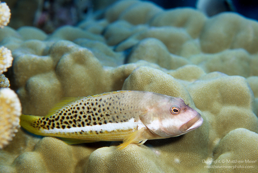 Moorea, French Polynesia; Halfspotted Hawkfish (Paracirrhites hemistictus), solitary, perch in corals on clear, exposed seaward reefs in 1-18 meters, in the East Indo-Pacific Ocean region, Cocos-Keeling Islands to Marquesas Islands in French Polynesia.  S.W. Japan to Australia, to 28 cm , Copyright © Matthew Meier, matthewmeierphoto.com All Rights Reserved