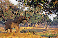 African Elephant bull (Loxodonta africana) checking acacia tree--looking for food--will break off limbs and leaves with trunk.  Mana Pools National Park, Zimbabwe.