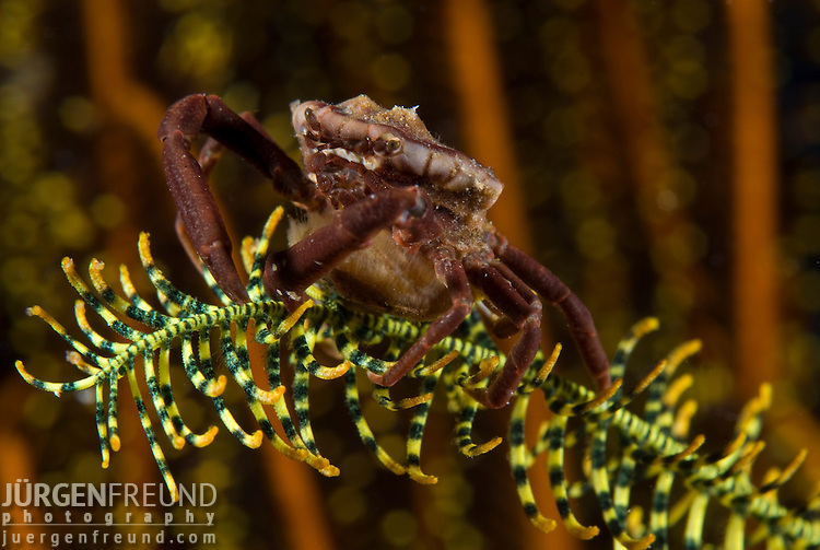 crab on a crinoid