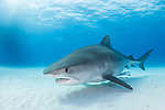 Tiger Beach, Grand Bahama Island, Bahamas; a large, pregnant, female tiger shark swimming over the shallow, sandy bottom at Tiger Beach, with sun rays streaming in from above