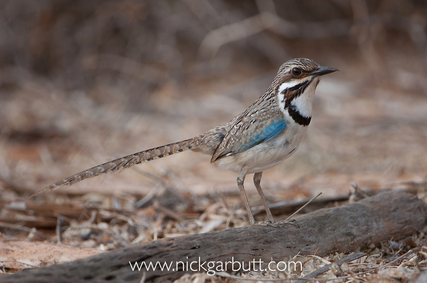 Long-tailed Ground Roller (Uratelornis chimaera) in spiny forests near Ifaty. South west Madagascar. (Endangered)