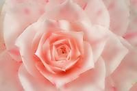 Pink rose.