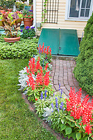 Salvia and dusty miller in backyard garden with house in red, white and blue colorful patriotic theme of annual flowers and plants next to lawn, with brick path, container garden of cannas set into pachysandra and on back deck